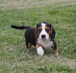 Where Can I Find Beagle Puppies For Sale