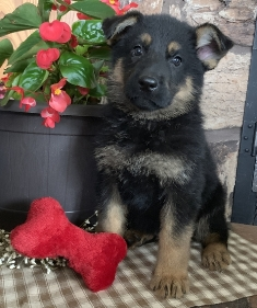 German Shepherd Puppies For Sale Near Me