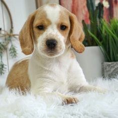 Beagle Puppies For Sale In NC