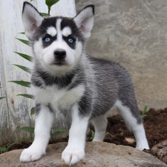Full Breed Husky Puppies For Sale