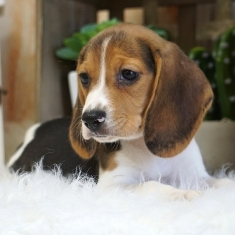 Where To Buy Beagle Puppies