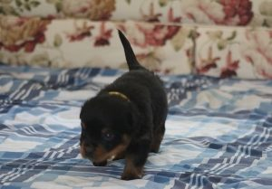 Purebred Rottweiler Puppies For Sale