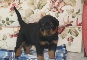 Rottweiler Puppies For Sale In PA