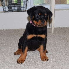 Rottweiler Puppies For Sale In Ohio