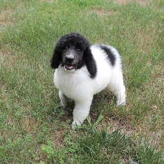 Cheap Poodle Puppies For Sale