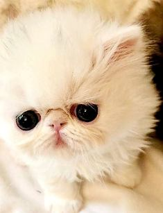 Find Persian Kittens For Sale