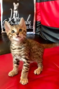 Savannah Cat Kittens For Sale