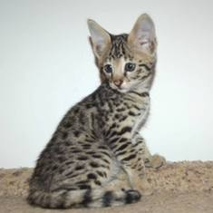 Savannah Kittens For Sale Near Me