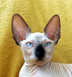 Sphynx Kittens For Sale Texas