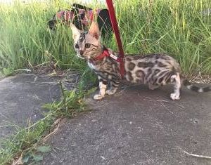Bengal Kittens For Sale F1