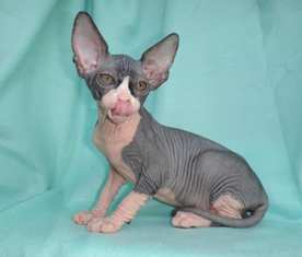 Cheap Sphynx Kittens For Sale