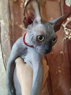Baby Sphynx Kittens For Sale
