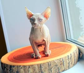 Sphynx Kittens For Sale Near Me