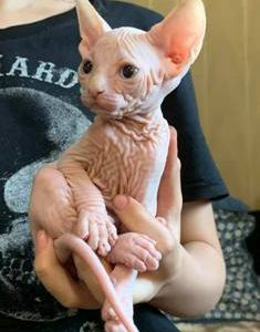 Hairless Cat Kittens For Sale