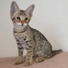 Savannah Kittens For Sale In Ohio