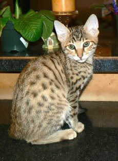 Savannah Cat Breed For Sale