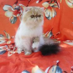 Looking For Persian Kittens For Sale