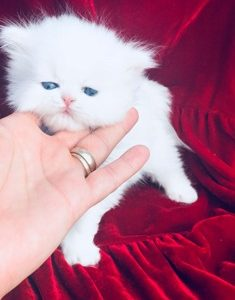 White Persian Cat For Sale