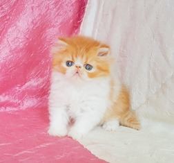 Golden Persian Kittens For Sale Near Me