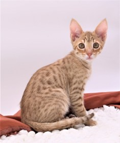 Cheap Savannah Kittens For Sale
