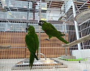 HAHNS MACAWS FOR SALE