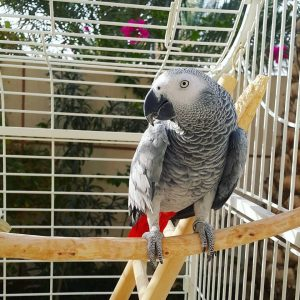 African Greys For Sale Cheap