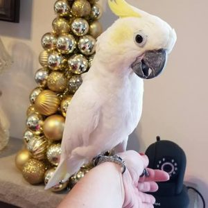 SULPHUR CRESTED COCKATOO IS AVAILABLE