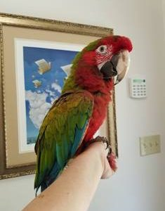 CALICO MACAW FOR SALE