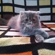 Where To Buy Persian Kittens