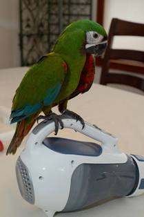 SEVERE MACAWS FOR SALE
