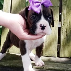 Miniature boxer puppies for sale
