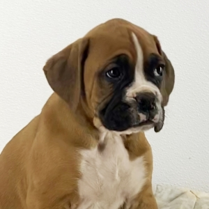 Buy a boxer puppy near me