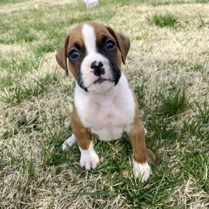 Boxer puppies for sale cheap