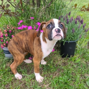 brindle boxer puppies for sale near me