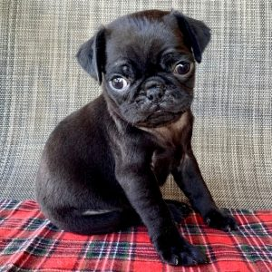 Teacup pug puppies for sale near me